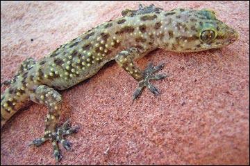 Wildlife Around Las Vegas Mediterranean House Gecko Hemidactylus