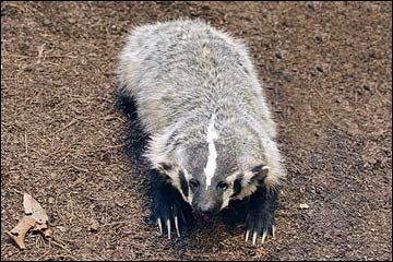 Badger Eyes Are Everywhere But >> Wildlife Around Las Vegas American Badger Taxidea Taxus